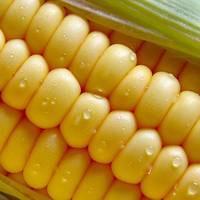 Кукуруза растет в цене на мировых рынках второй день подряд