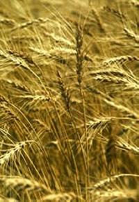 Украина: На прошлой неделе тонна фуражной пшеницы подешевела на внутреннем рынке на 70 грн