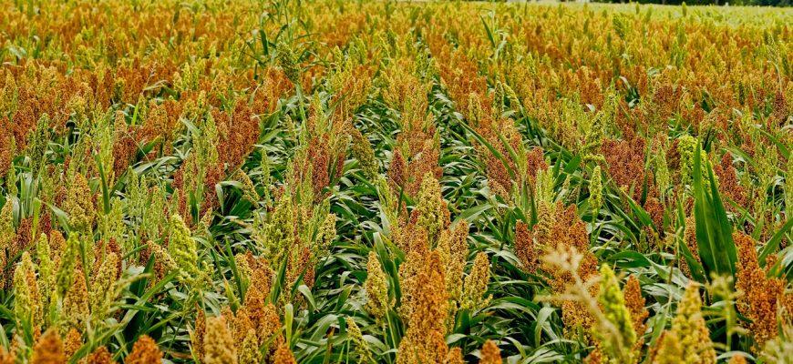Засуха негативно отразилась на урожае сорго в Австралии