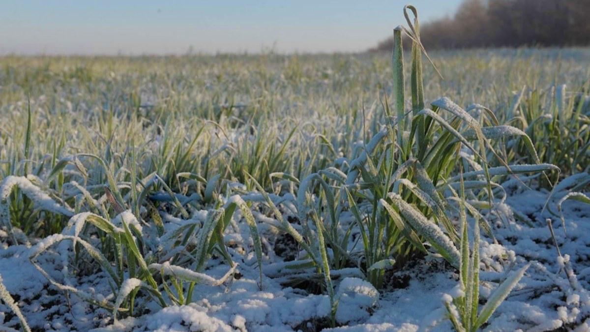 На Юге России могут погибнуть посевы