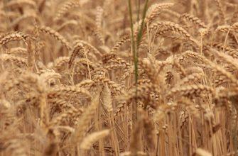 Март опустил котировки пшеницы в США, а в Европе пшеница укрепилась