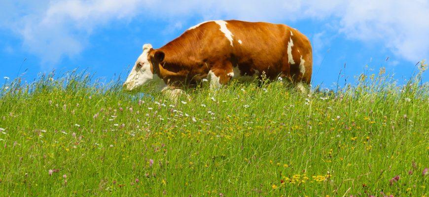 Россия: На Ставрополье будут развивать молочное животноводство за счет коров джерсейской породы