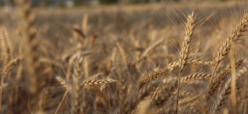 Прогноз мирового производства зерна вырос на 1 млн. тонн - МСЗ