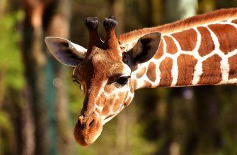 Ученые выяснили, зачем жирафам пятна
