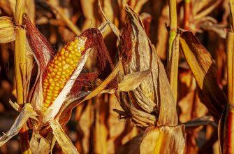 Россия: В Приморье повысилась урожайность кукурузы