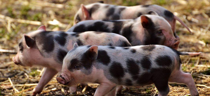 Россельхознадзор выявил мошенническую схему поставок свиного жира из Евросоюза