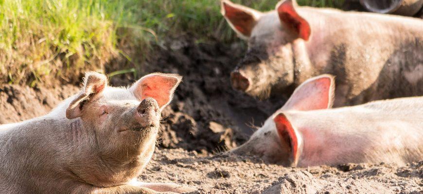 Африканская чума свиней впервые зарегистрирована в Монголии