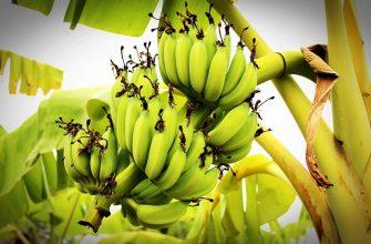 Россия намерена в видеоформате проверить банановые плантации Эквадора