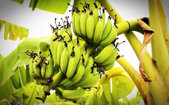 Можно ли есть много бананов, их вред и польза для организма