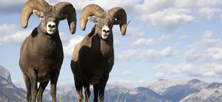 Россия обсуждает с Ираном увеличение экспорта мяса баранины