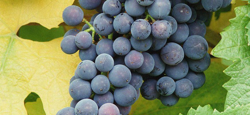 Красный виноград уменьшит «тяжесть в ногах»