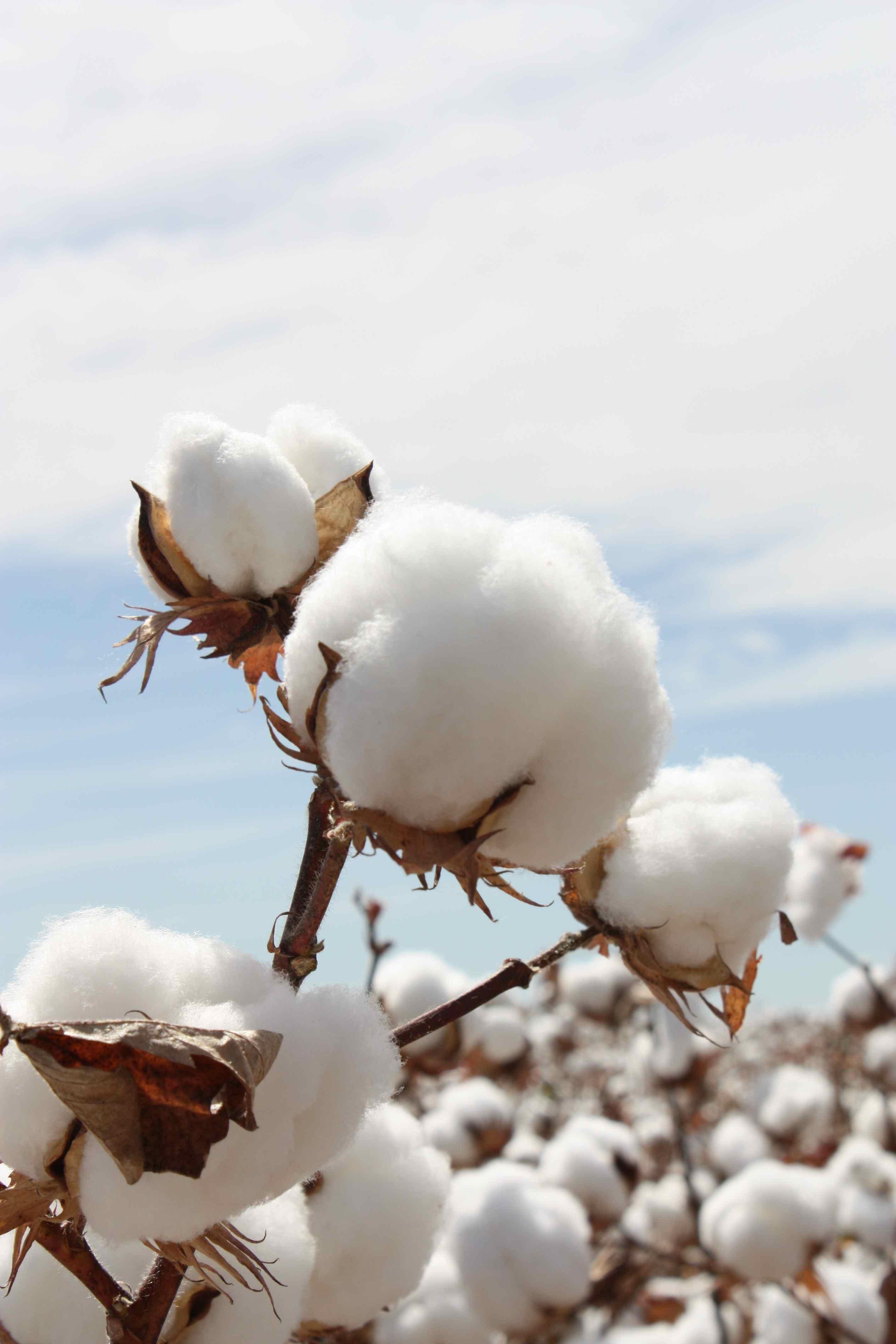 cotton culin plan ahead - 736×1104