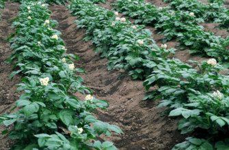 Урожай погиб из-за нехватки рабочих рук