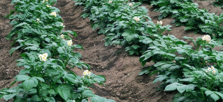 Казахстанские картофелеводы прогнозируют средний урожай