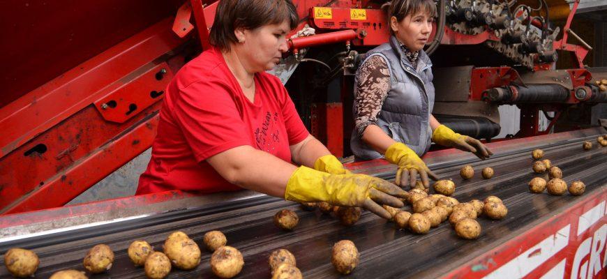 Картофелеводов Казахстана разочаровали цены