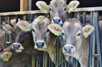 В США предложили новый способ группировки коров
