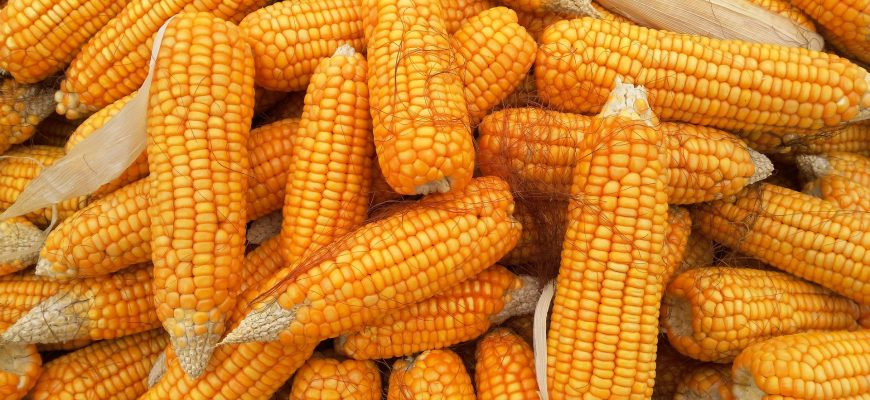 В США дорожают кукуруза, соя и пшеница