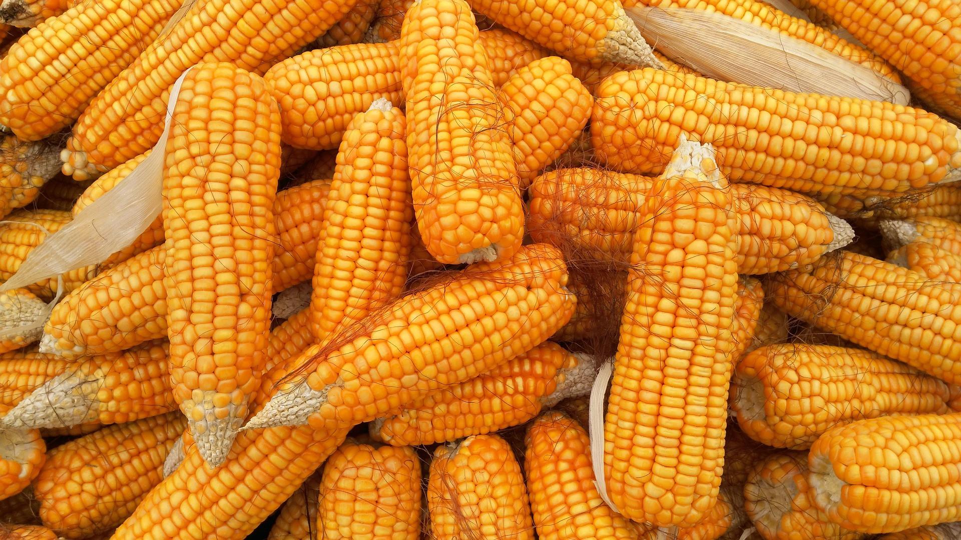 Импорт кукурузы в Японии увеличится до 16,4 млн тонн в 2020-21 МГ