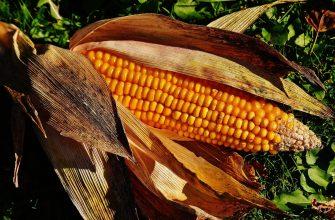 Электромагнитный модулятор повысит урожайность сои и кукурузы - ученые