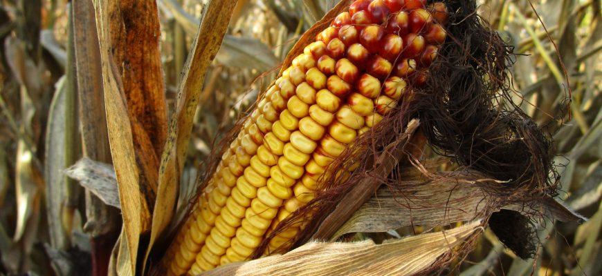 Уборочной кампании в кукурузном поясе США мешают дожди