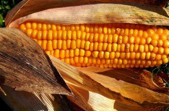Объем производства кукурузы в ЕС снизится до 60,1 млн тонн в этом году
