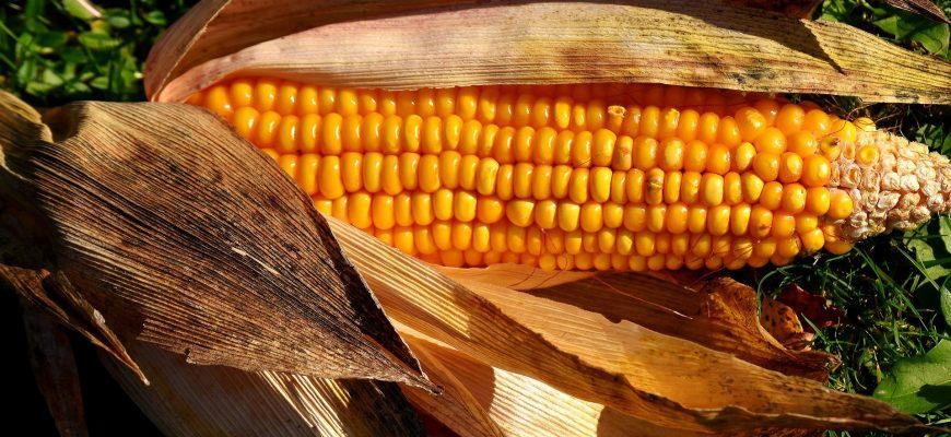 Производители кукурузы в США не дополучат $3,5 миллиарда