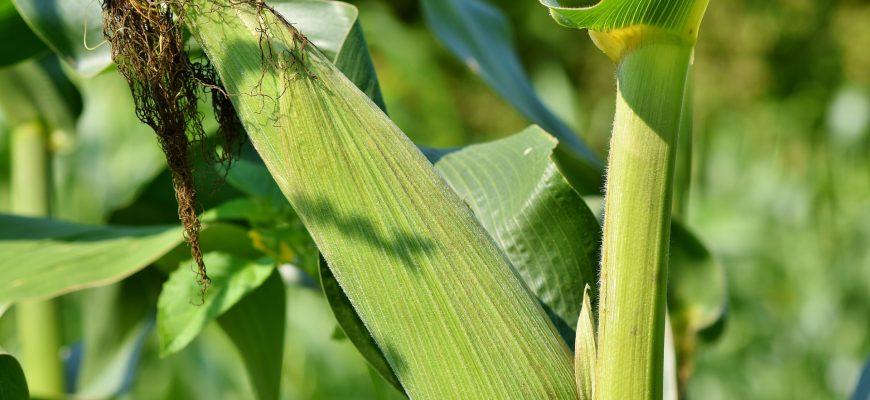 Погода в третьей декаде августа будет способствовать созреванию кукурузы - Белгидромет