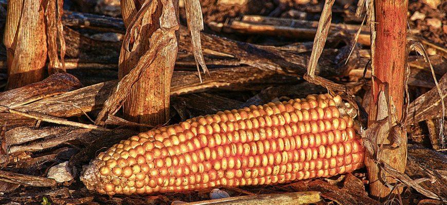 В 2019/20 МГ Зимбабве импортирует 800 тыс. тонн кукурузы из-за засухи