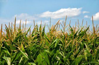 В Канаде неурожай кукурузы и сои