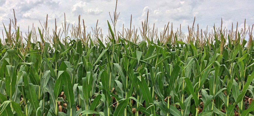 Маркетинговый год начался с низких мировых цен на кукурузу