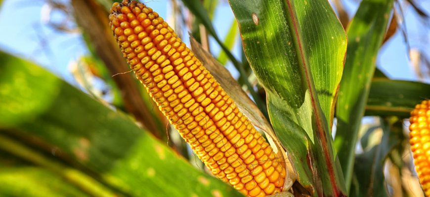 """Россия может нарастить производство кукурузы на 100 млн тонн за счет мелиорации - """"Русагро"""""""