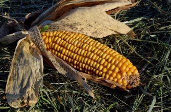 В США разработали новый инсектицид для борьбы с корневым червем на кукурузе