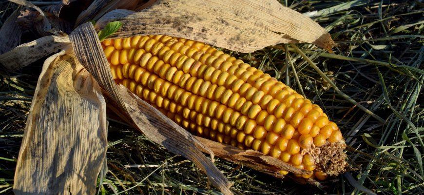 Кукуруза на шаг ближе к устойчивости к бактериальному вилту