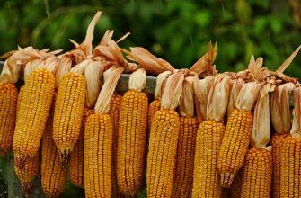 ЕС экспортирует 3,9 млн тонн кукурузы в следующем сезоне