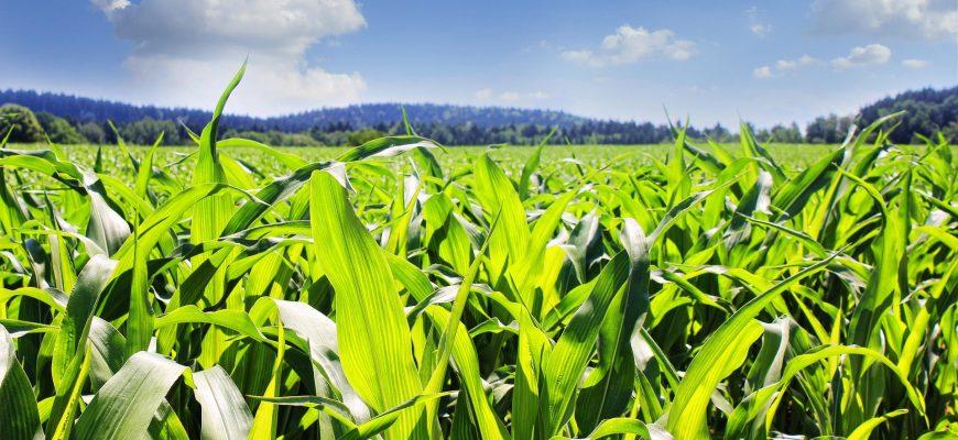 Американские фермеры увеличили площади кукурузы на 3%