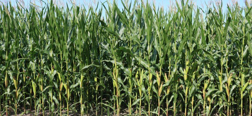 Трейдеры обследуют поля, чтобы опровергнуть прогнозы USDA на сою и кукурузу