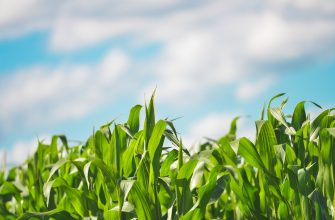 В США кукуруза влажная и годится разве что на корм скоту
