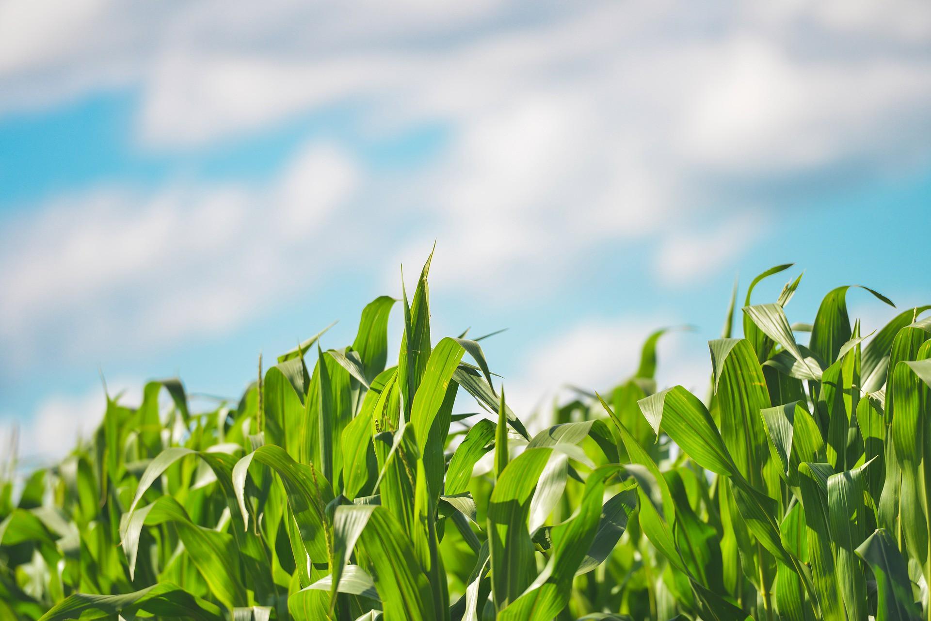 В Тамбовской области ждут рекордного урожая кукурузы