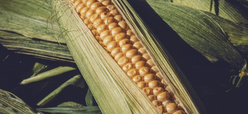 Кукуруза выросла на полях