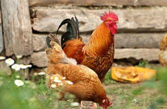 Выгодно ли содержать домашнюю птицу на частном подворье?
