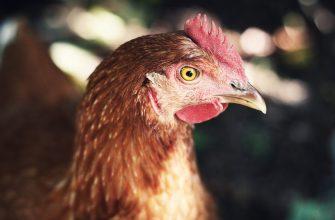 Подешевеет ли куриная продукция