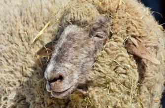 Кызылординским животноводам выплатили компенсации за падеж  скота