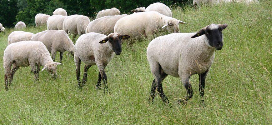 ФАО поможет Казахстану улучшить производство мелких жвачных животных