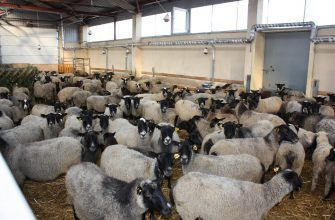 В Актюбинской области выросли цены на овец, свиней и КРС