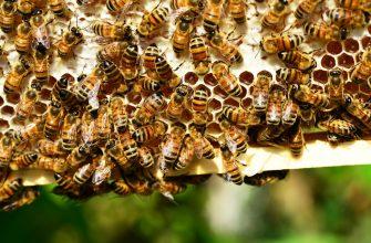 Люди и пчелы. Тысячелетняя история сотрудничества может оборваться