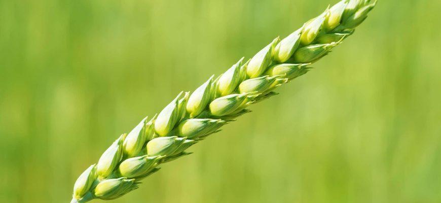 Россия: 10 алтайских предприятий прошли аккредитацию для участия в госинтервенциях зерна