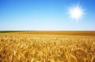 В Брянской области хотят собрать 2,3 млн тонн зерна
