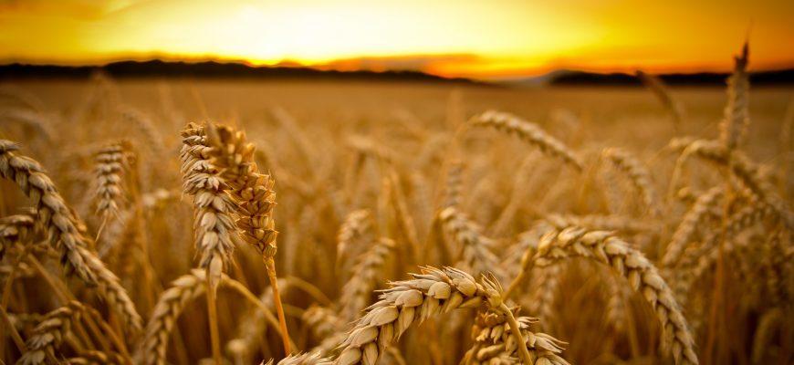 После падения накануне пшеница в Европе и США дружно выросла