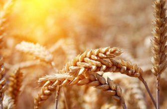 За прошлую неделю котировки пшеницы, кукурузы, сои и рапса выросли