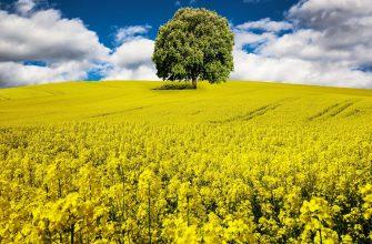 В ЕС фермеры больше не хотят выращивать рапс
